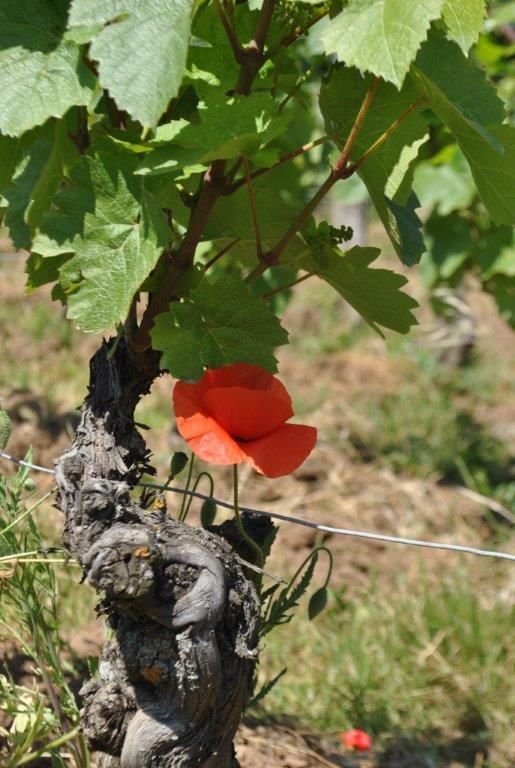 vigne-beaujolais